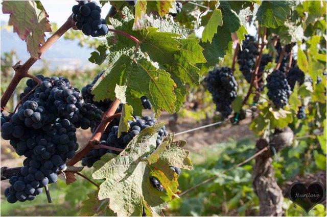 Uvas en la viña
